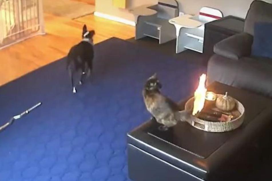 Während der Hund immer nervöser wurde, sah sich die Katze tiefenentspannt an, wie ihr Schwanz brannte.