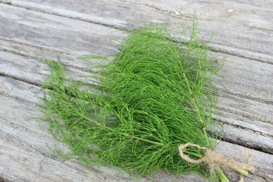 Ackerschachtelhalm ist ein sehr nützliches Kraut, das oft auf Wiesen und an Wegesrändern wächst.