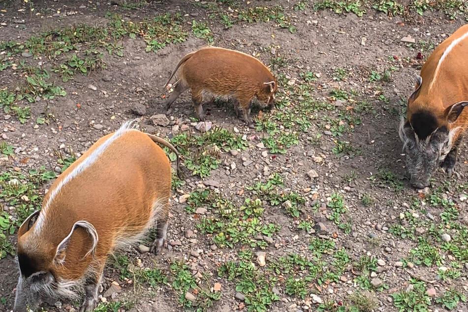 Fast zwei Monate später stellt der Zoo den kleinen Nachwuchs vor.