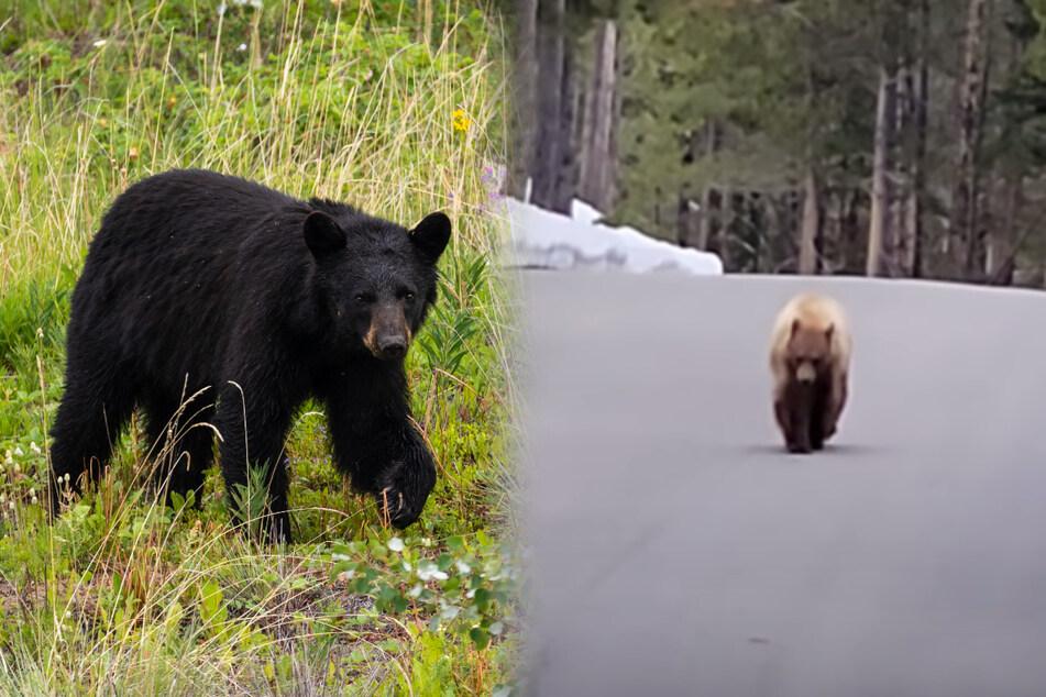 """Jogger in Panik, Schwarzbär kommt ihm immer näher: """"Ich bin nicht dein Essen!"""""""