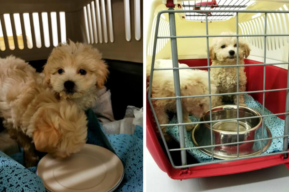 Polizeibeamte stellen bei einer Kontrolle vier Hundewelpen der Rasse Bichon Malteser sicher.