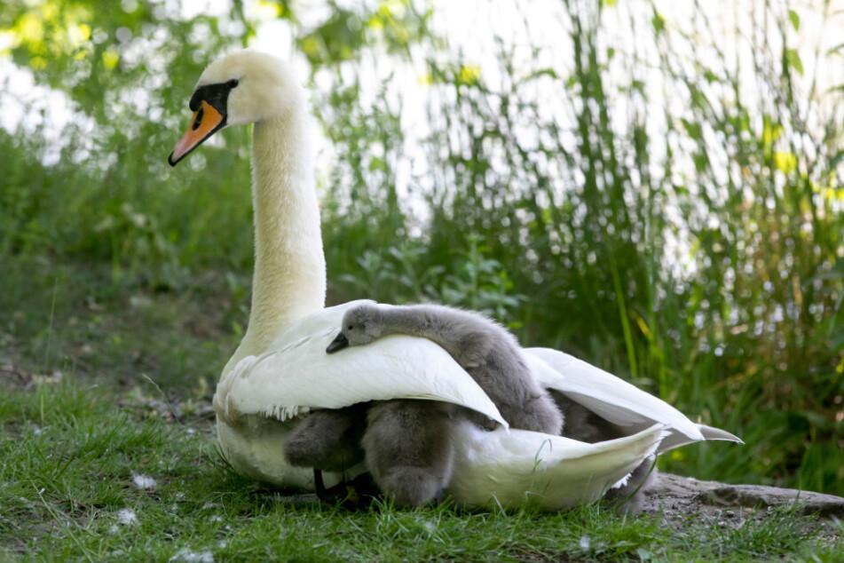 So süß. Die flauschigen Küken suchen Schutz bei Mama Schwan.