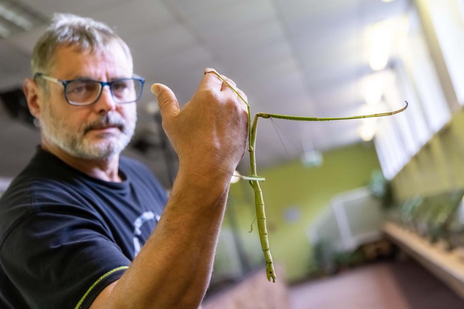 Aquariums-Chef Mario Gemballa (56) zeigt eine Riesenstabschrecke.