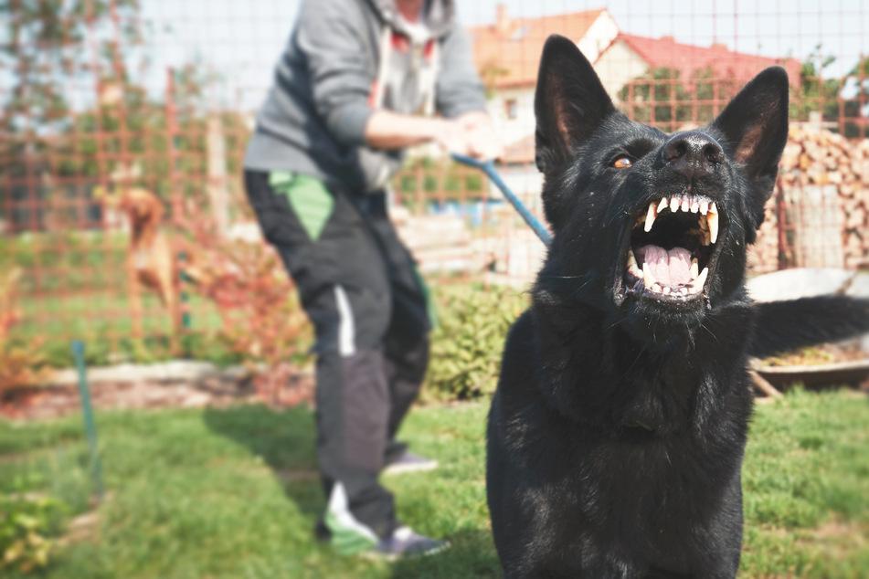 Ein großer, schwarzer Hund hat am Freitagmittag eine Frau in Magdeburg gebissen. (Symbolbild)