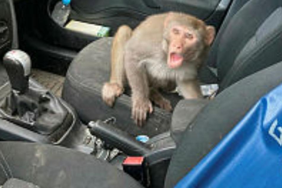 Dresden: Klappe zu, Affe lebt: Mit einem Trick locken Anwohner einen Ausreißer in die Auto-Falle!