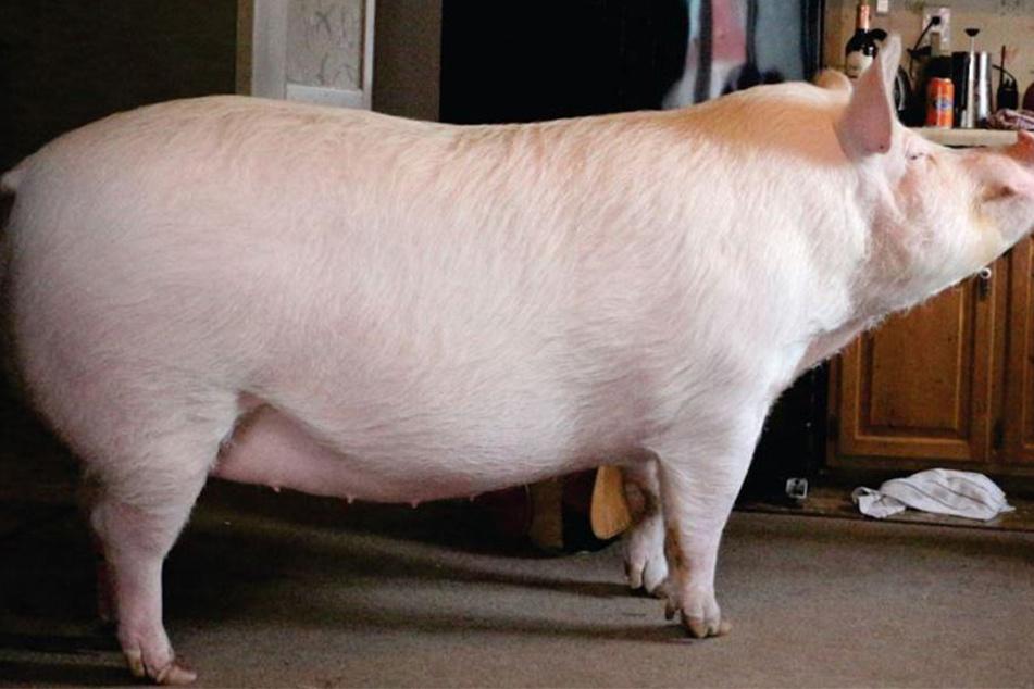Dieses fette Schwein ist ein Facebook-Star
