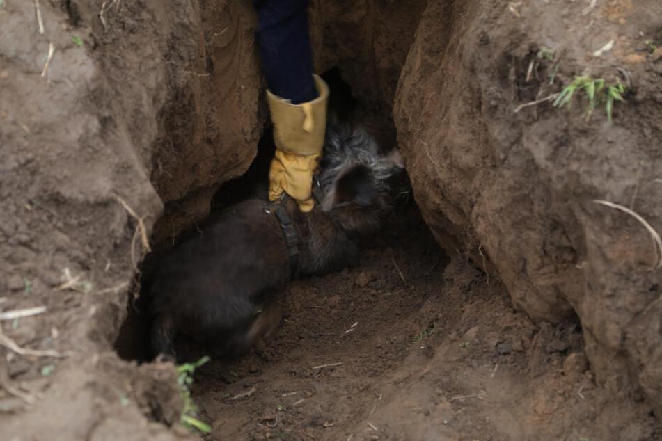 Mit einem Griff konnte der 13 Jahre alte Hund schließlich aus dem Fuchsbau befreit werden.