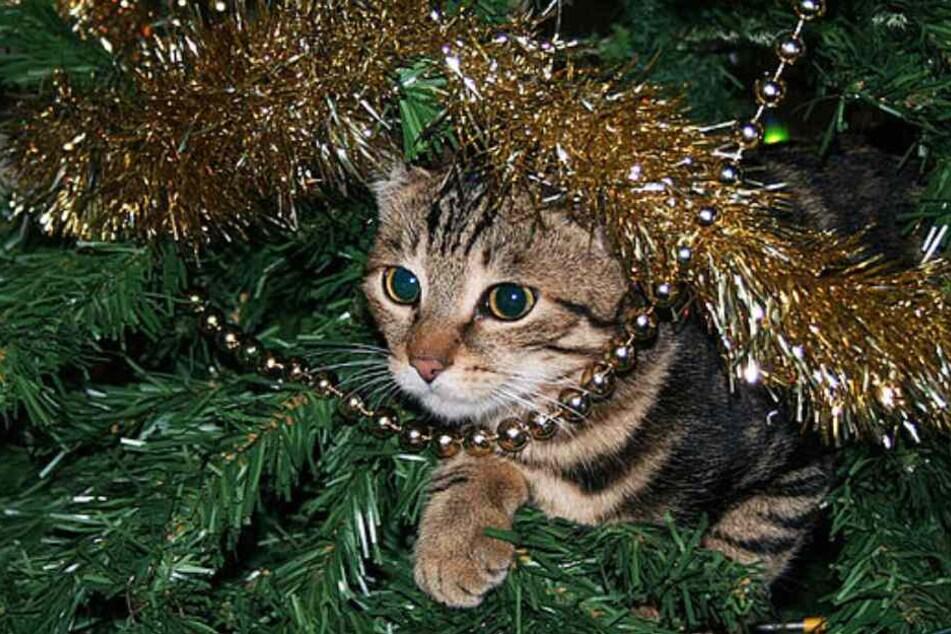 Katzen lieben es, mit dem Lametta zu spielen.
