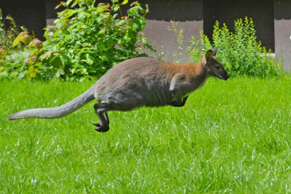 Sprang das Känguru alleine davon oder wurde es gestohlen? (Symbolbild)