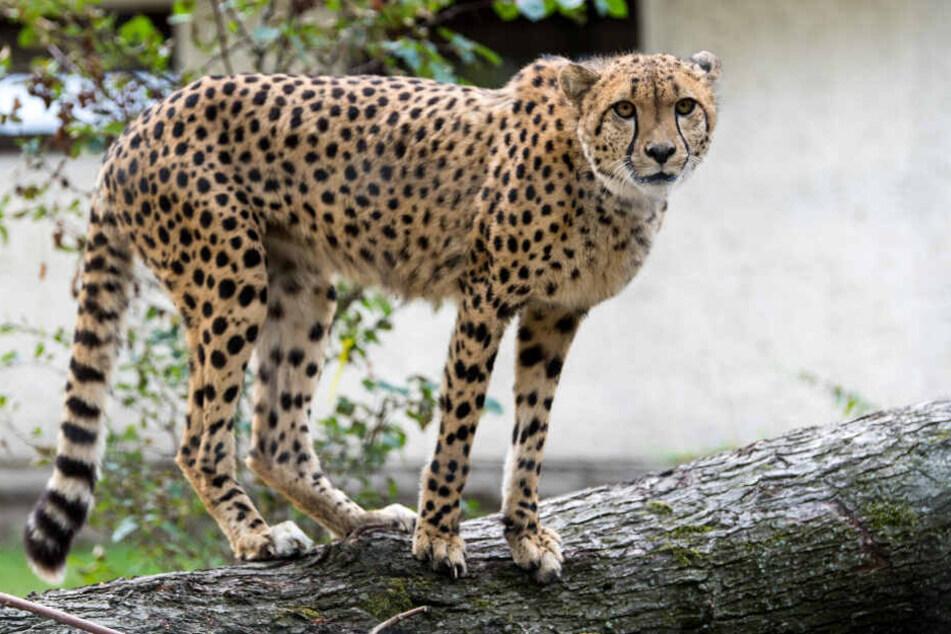 Geparden, wie hier in Dresden, gehören zu den schnellsten Tieren der Welt.