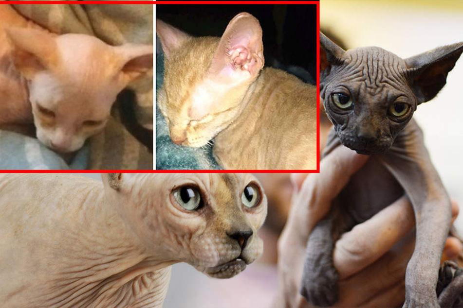Tierquäler rasieren Katzen und verkaufen sie als teure Sphynx