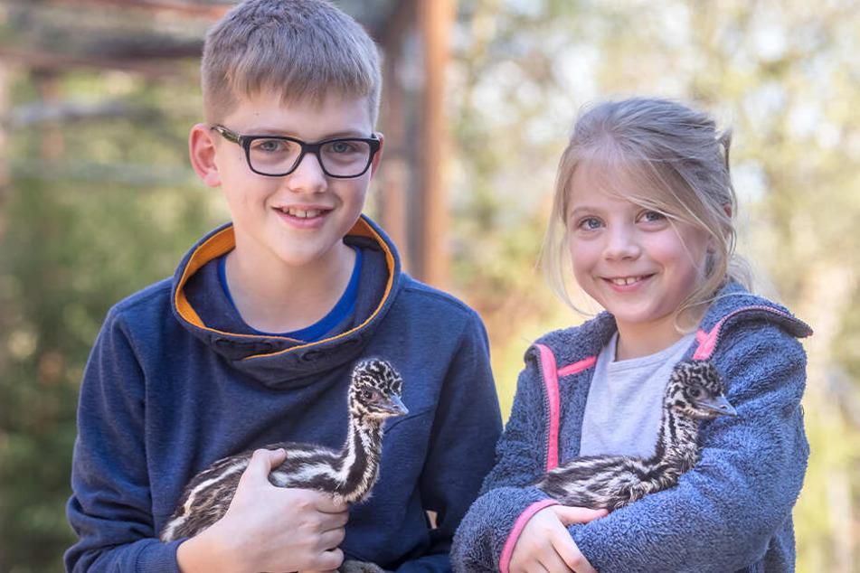 """""""Pflegeeltern"""" Enno (13) und Eltje (8) besuchten mit den Emus Piefke und Schniefke (2 Wochen jung) den Brutpapa Curly (24) im """"Zoo der Minis""""."""