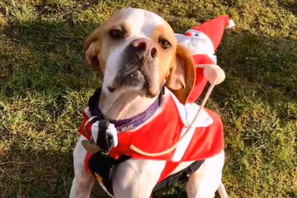 Frohe Weihnachten: Macy ist wieder total fit.