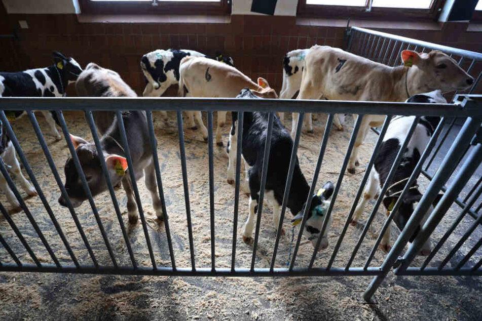 Wohin mit den Kälbern? Wenn Bauern ihrer Tiere nicht mehr verkaufen können wird die Kapazität im Stall knapp.