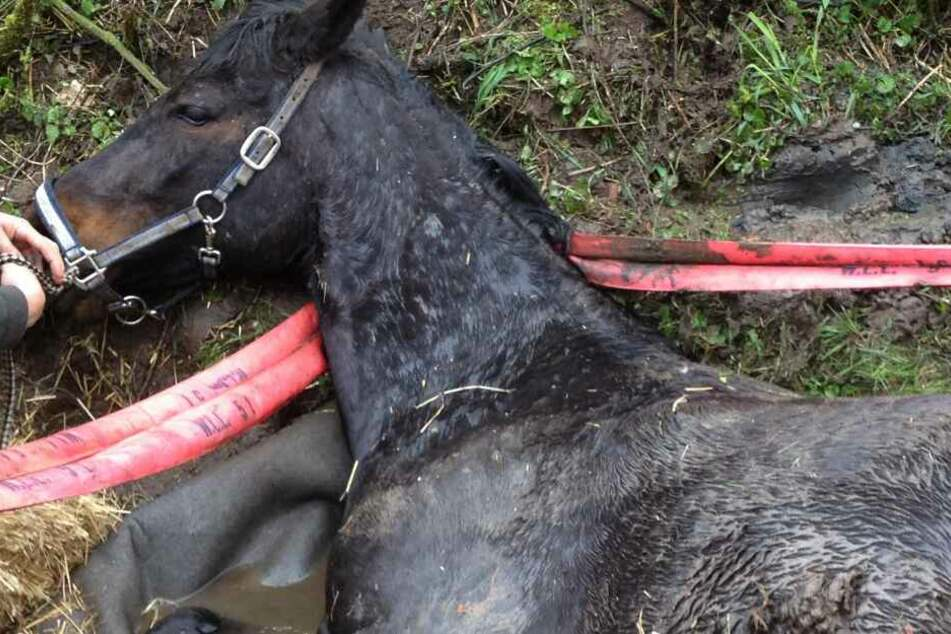 Das Pferd überlebt den Unfall nicht. (Symbolbild)