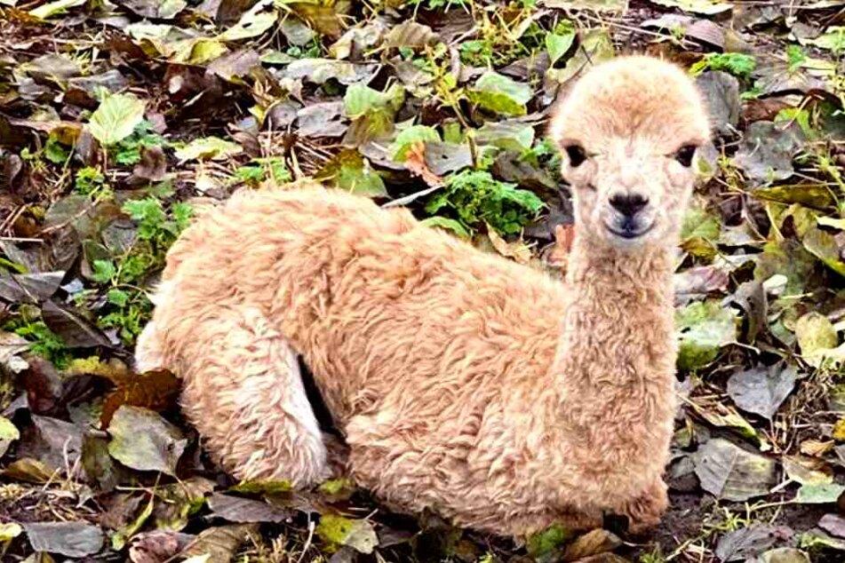 Alpaka-Baby Christinchen bleibt verschwunden.