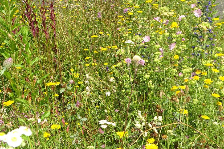 Für solche Blumenwiesen für Insekten verteilt der NABU jetzt kostenlose Samen-Sammlungen an die Leipziger.