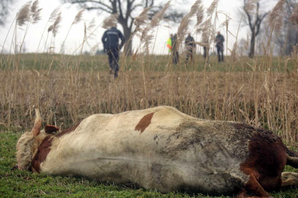 Ende der Flucht: Der Stier liegt erschossen auf einer Wiese nahe Buch.