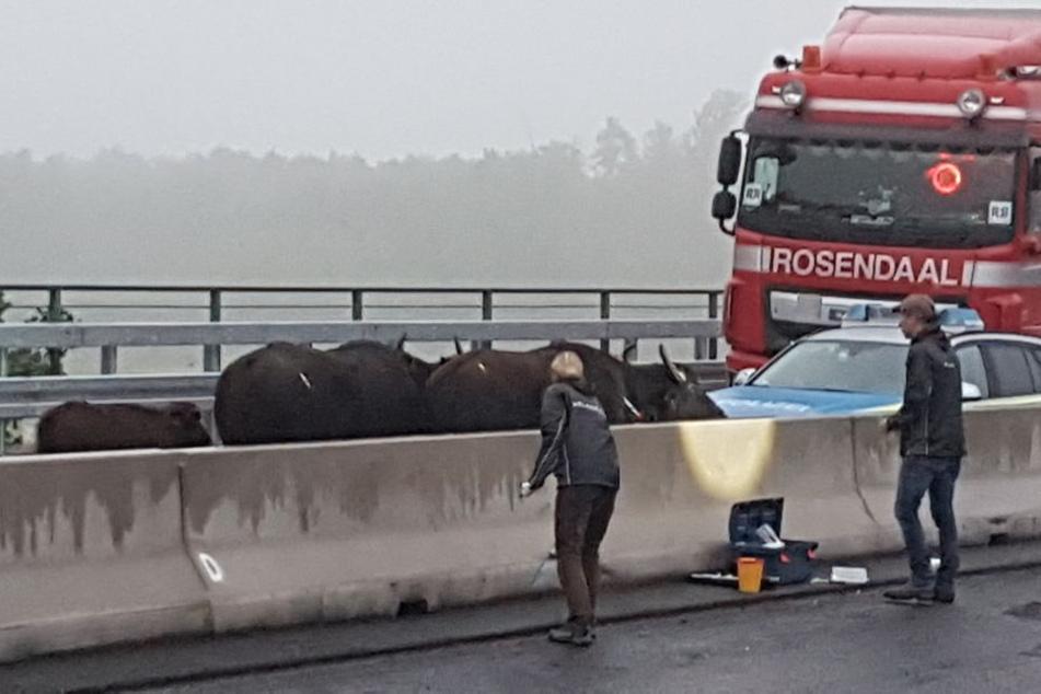 Die Wasserbüffel waren mehrere Stunden lang auf der Autobahn.