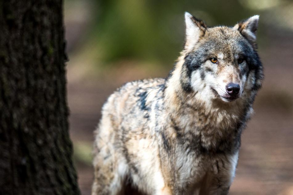 Wölfe: Binnen weniger Tage: Zwei Wölfe bei Unfällen in Bayern getötet