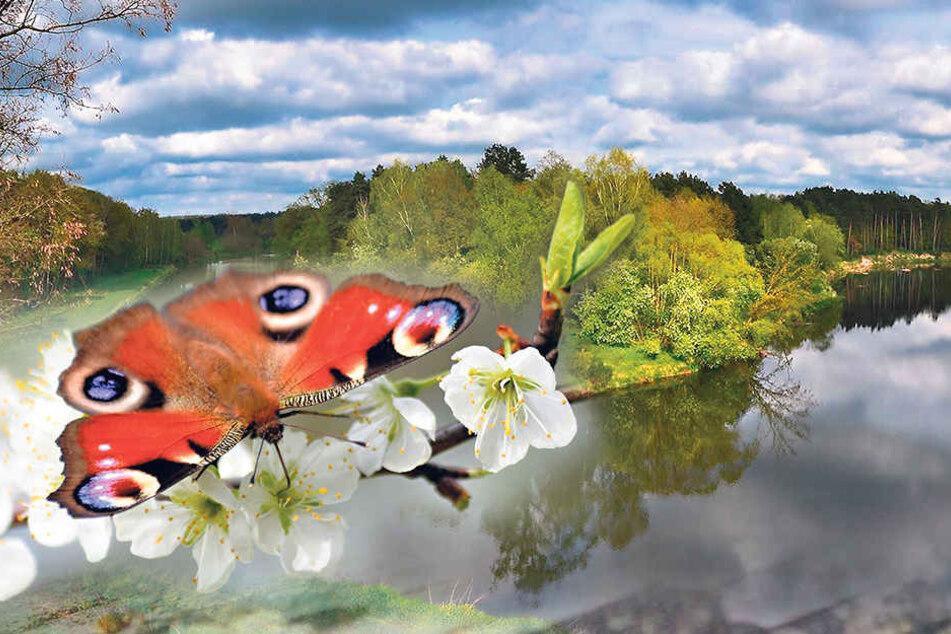 Diesen Zeitgenossen kennt wirklich jeder. Auch an der Neiße ist das Tagpfauenauge heimisch. 2009 wurde es zum Schmetterling des Jahres gewählt.
