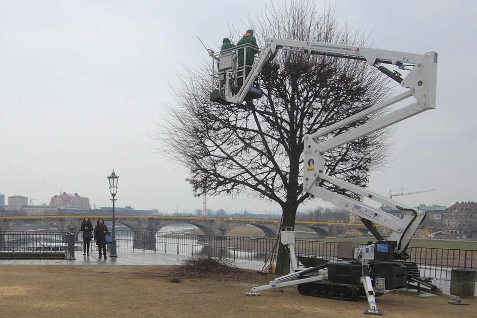 Auf der Brühlschen Terrasse mussten vier Linden einem Aufzug weichen