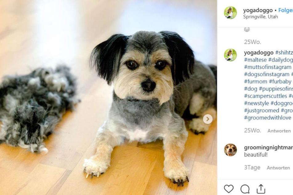 So sieht Scamper aus, wenn seine Hunde-Frise fertig ist.