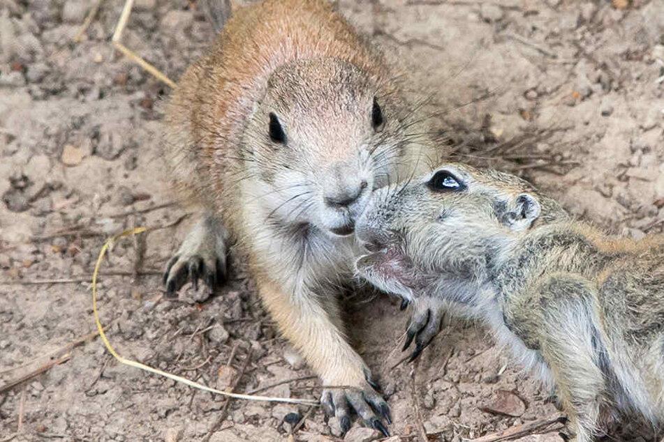 Die süßen Präriehunde leben sich gut ein im Tierpark Meißen.