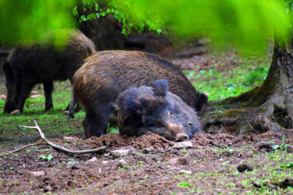 Zum Leidwesen der Bauern durchpflügen Wildschweine im Winter Felder, um nach Würmern, Käfern und Larven zu suchen.
