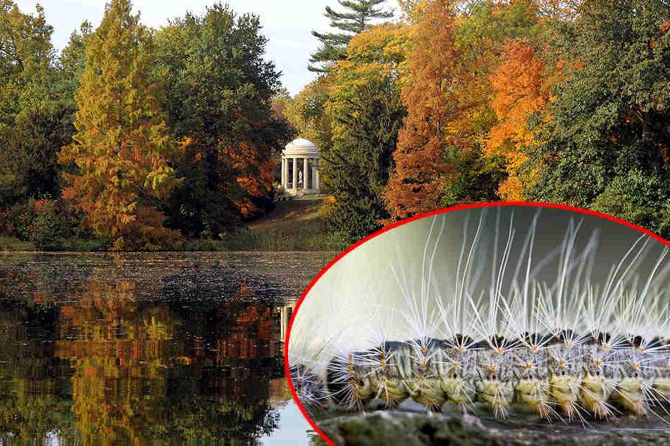 Der Eichenprozessionsspinner macht sich im Gartenreich Dessau-Wörlitz breit.