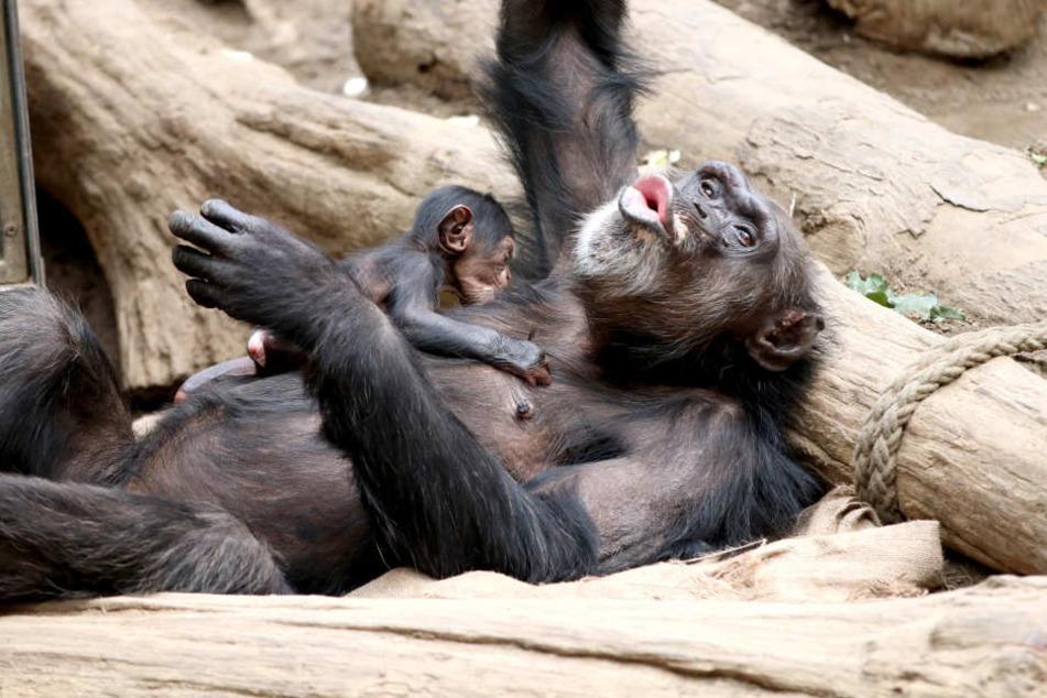 Schimpansin Natascha ist mit ihrem süßen Jungtier im Zoo Leipzig zu sehen.