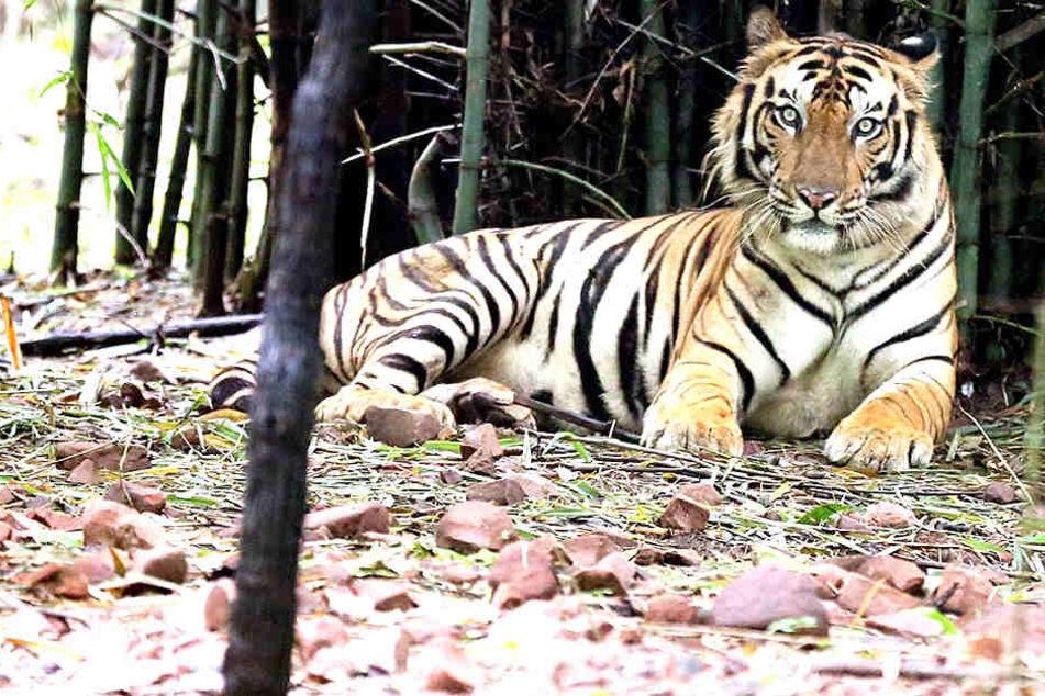 Mehrere Tiger kamen im Chitwan-Nationalpark ums Leben.