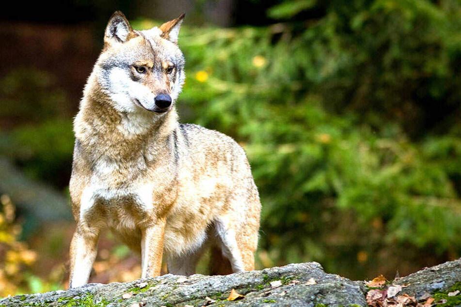 Wie man mit dem Wolf umgehen sollte, sehen die Parteien sehr verschieden.