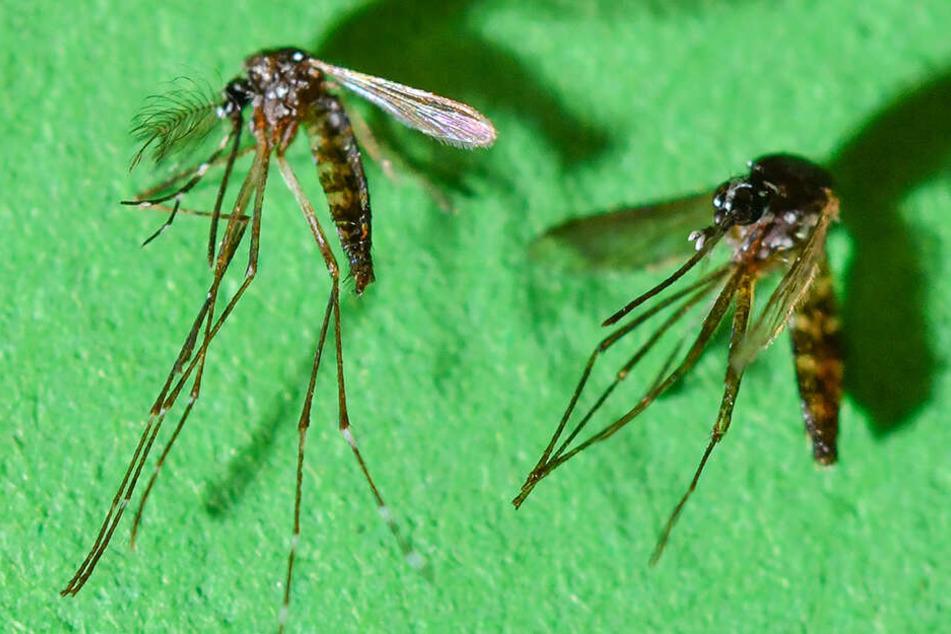 Fieses Duo: Ein Männchen (li.) und Weibchen der Asiatischen Tigermücke, gelegentlich auch Tigermoskito genannt.