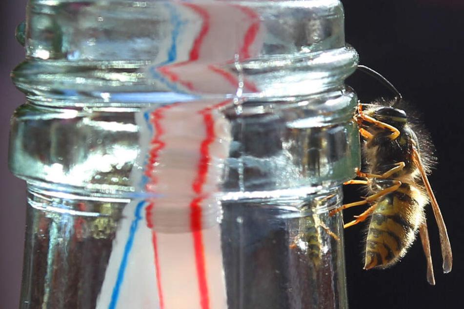 Eine Wespe sitzt an einem Flaschenhals, Süßes hat sie besonders gern.