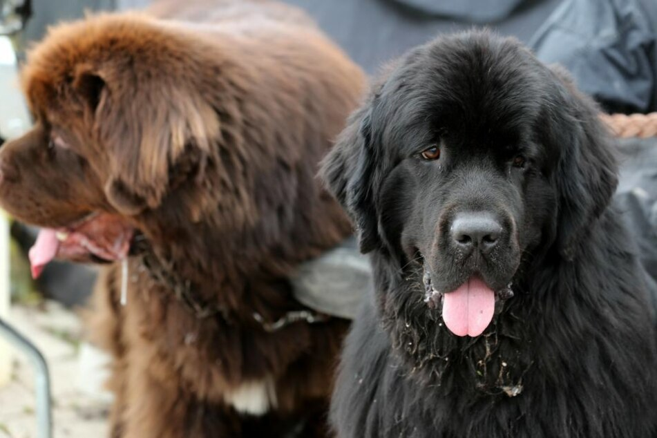 Newfoundland is a popular breed for rescue teams.