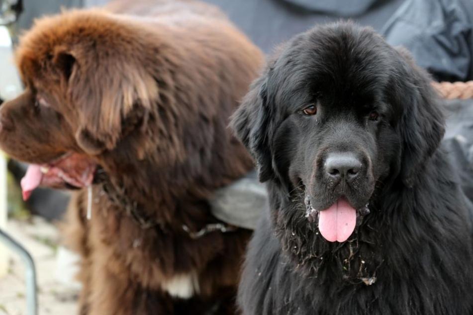 Neufundländer ist eine beliebte Rasse in der Rettungshundestaffel.
