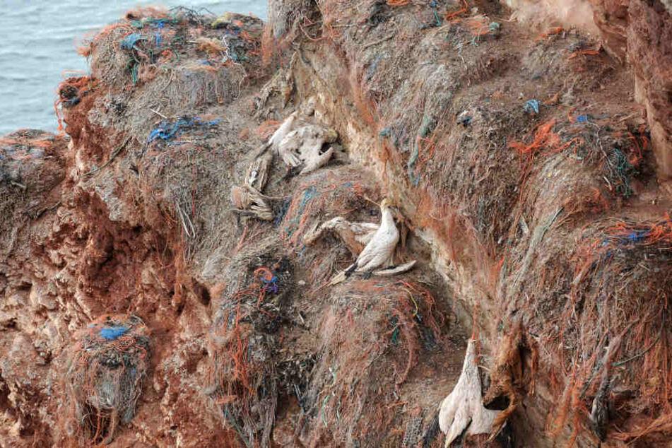 Drei tote Baßtölpel hängen tot in dem roten Felsen der Nordseeinsel Helgoland. Sie haben sich augenscheinlich in den Kunstfasern und Fischernetzresten ihrer einstigen Brutplätze verfangen und erhängt.