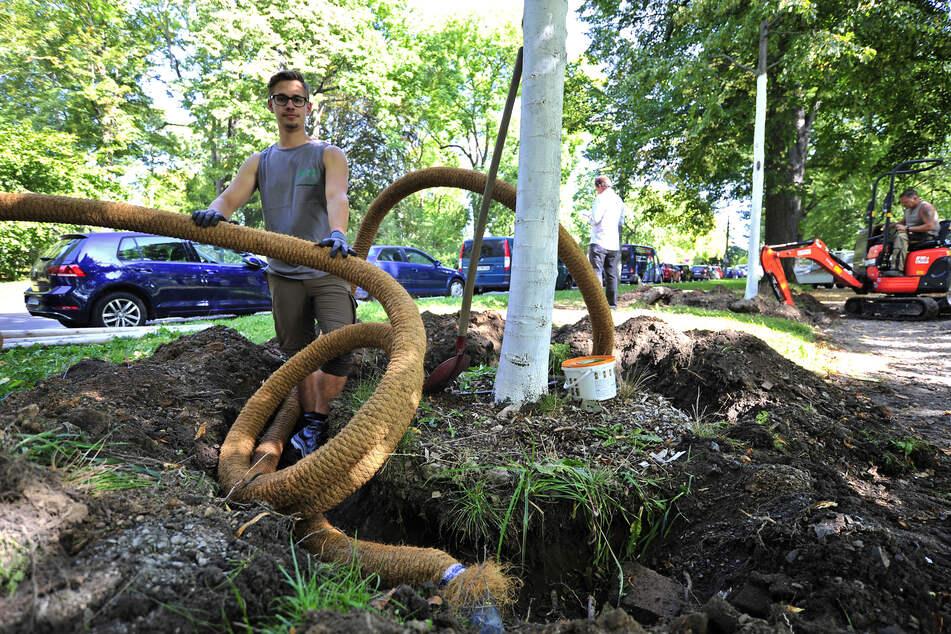 Landschaftsgärtner Dominik Anke (24) legt einen sechs Meter langen Gießring mit Kokosbeschichtung und kleinen Löchern um die Wurzeln.