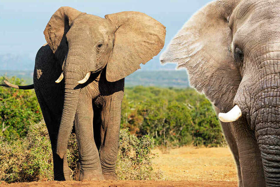 Zwei Menschen sind in Botsuana von Elefanten zu Tode getrampelt worden.