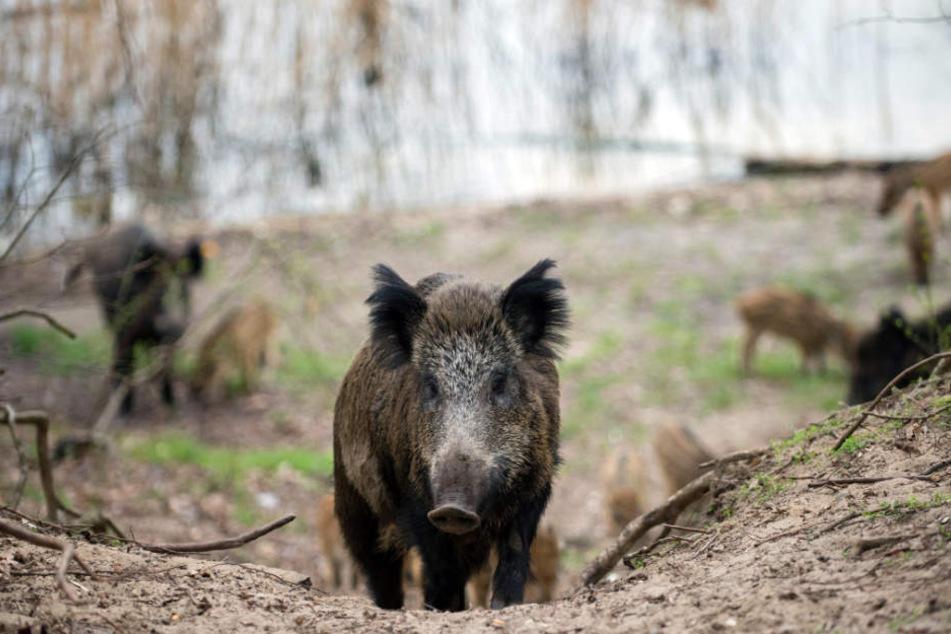Etwa zwei Drittel des Wildschwein-Bestandes werden jedes Jahr getötet. (Symbolbild)