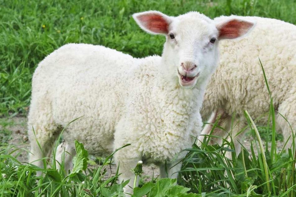 Welche Schafe haben den besten Schäfer? (Symbolbild)