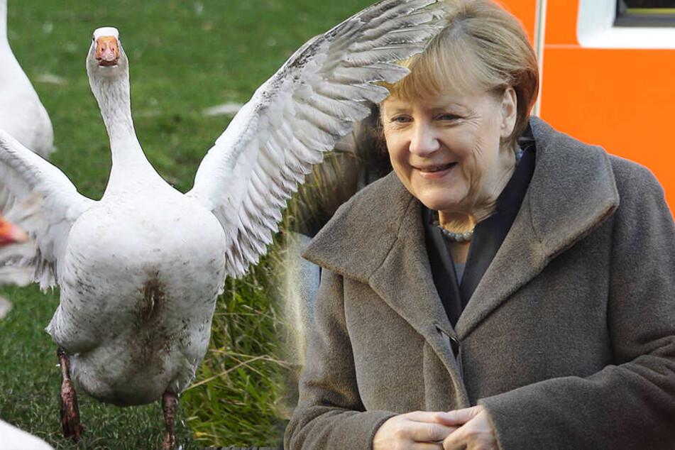 Kanzlerin Merkel (62, CDU) bezieht seit Jahren eine Pommerngans vom Pensionär Molkentin - nun wartet die Gans im Stall auf Weihnachten.