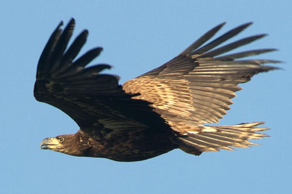 Majestätisch gleitet ein Seeadler durch die Luft. (Archivbild)