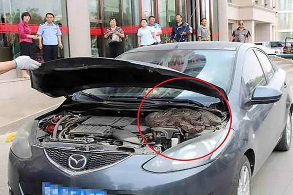 Gruselig! Frau findet riesige Python in ihrem Auto