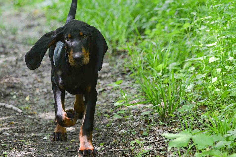 Black and Tan Coonhounds gelten eigentlich als ungefährlich (Symbolbild).