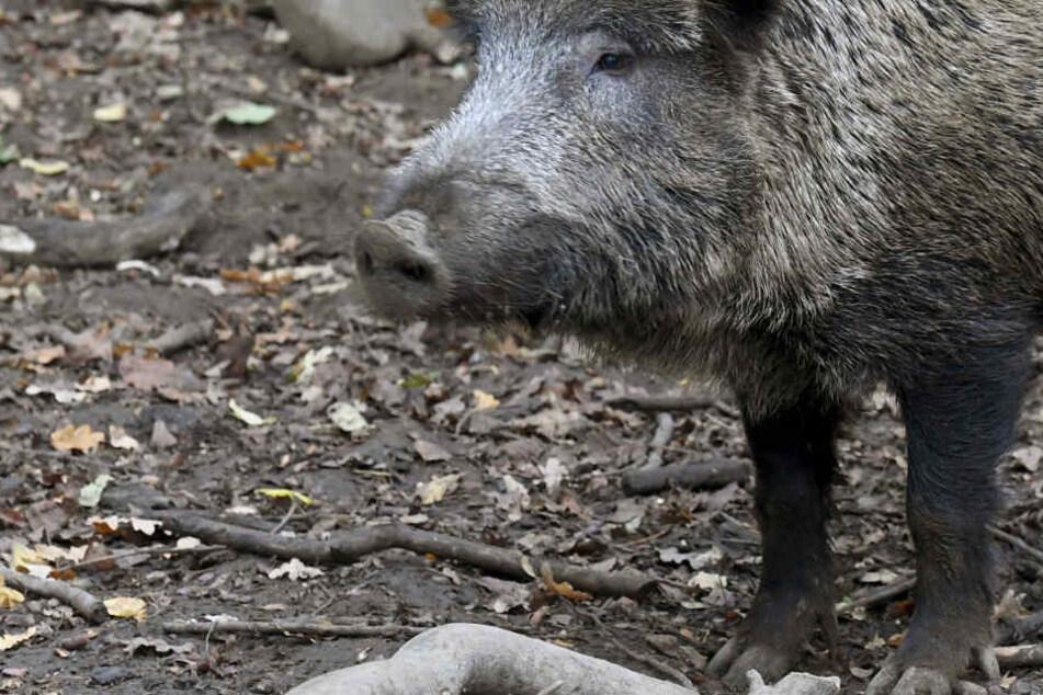Afrikanische Schweinepest: 18 weitere Fälle nahe Grenze zu Deutschland