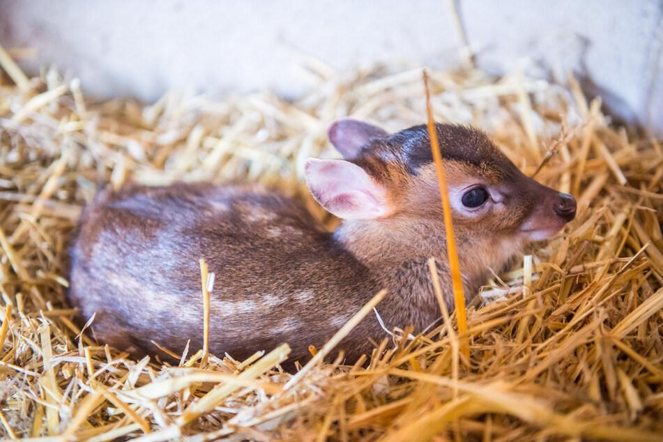 Extrem seltener Nachwuchs im Auer Zoo der Minis