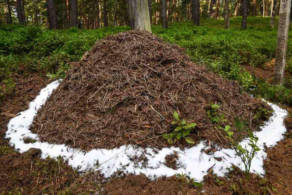 Der neue Ameisenhaufen ist mit einem Zuckerrand umgeben. Der soll den Insekten in den ersten Tagen Nahrung bieten.