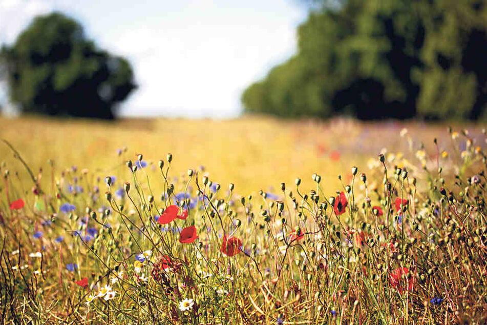 Kornblumen und Mohn dürfen auf diesem Acker im Sommer unbehelligt blühen.